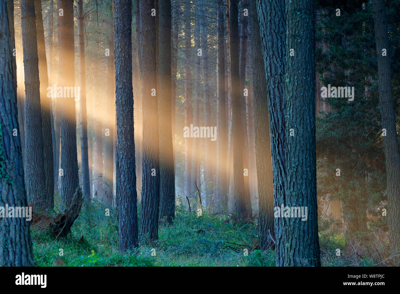 Rays of sunlight late afternoon in a pine forest Stock Photo