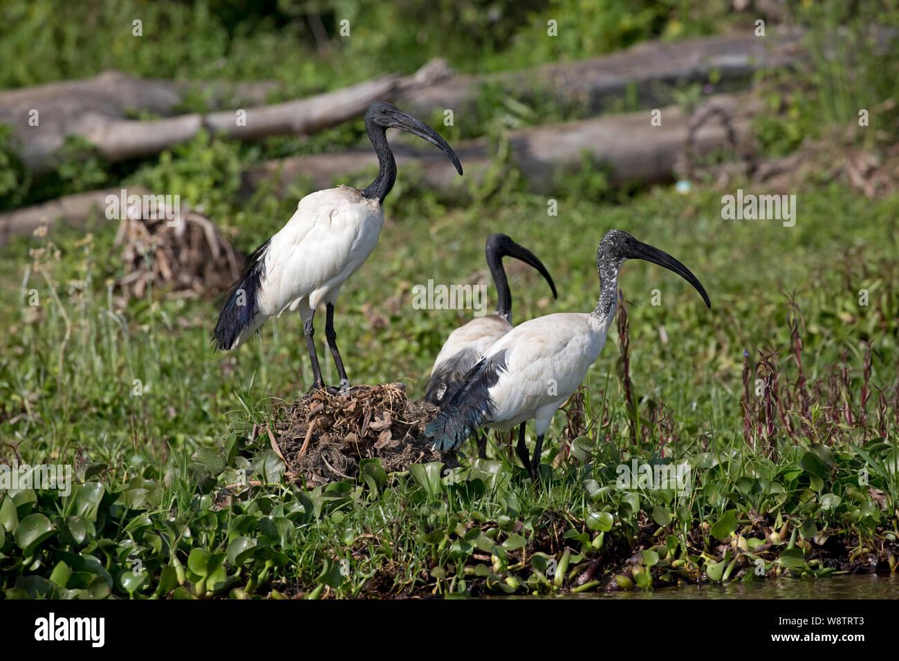 Sacred ibis, Threskiornis aethiopicus, standing at lake edge, Lake Naivasha, Kenya Stock Photo