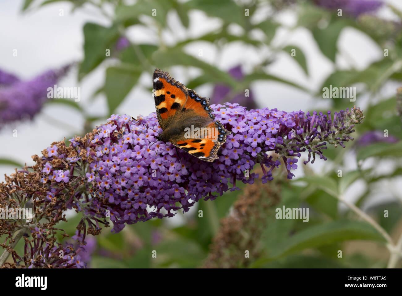 One small tortoiseshell butterfly, Aglais urticae, feeding on Buddleia flowers, Cotswolds, UK Stock Photo
