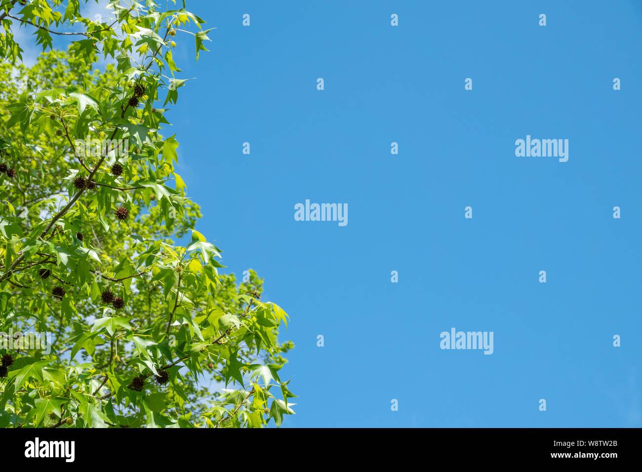 American sweetgum on a background of blue sky. American sweetgum, Also known as amber tree, American storax, hazel pine, bilsted, redgum satin-walnut, Stock Photo