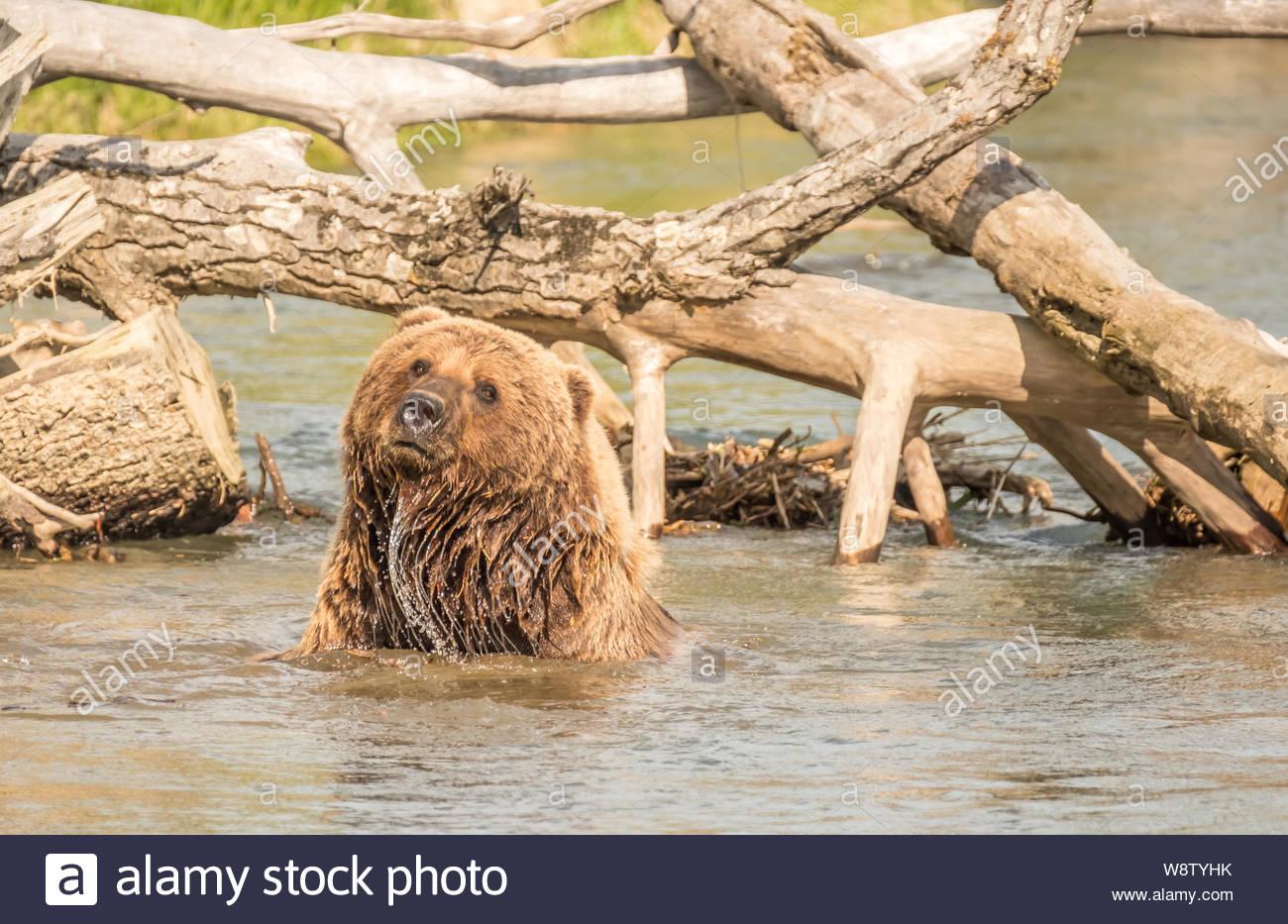 Costal Brown Bear Bathes on a Sunny Day in a Creek near the Runway at Bear Mountain Lodge, Chinitna Bay, Nikiski, Alaska, USA Stock Photo