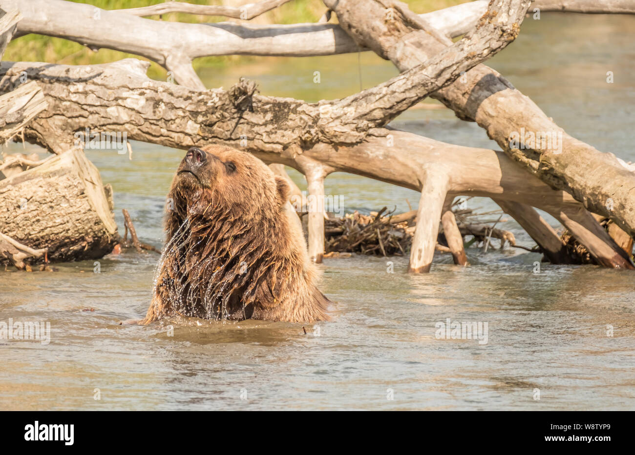 Costal Brown Bear Bathes on a Sunny Day in a Creek near the Runway at Bear Mountain Lodge, Chinitna Bay, Nikiski, Alaska, USA Stock Photo