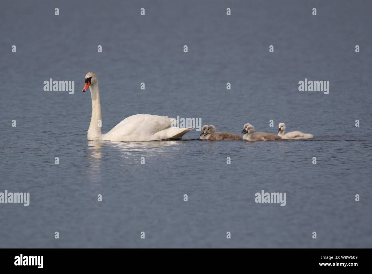 A mute swan Cygnus olor with a family of cygnets swimming behind on blue water Stock Photo