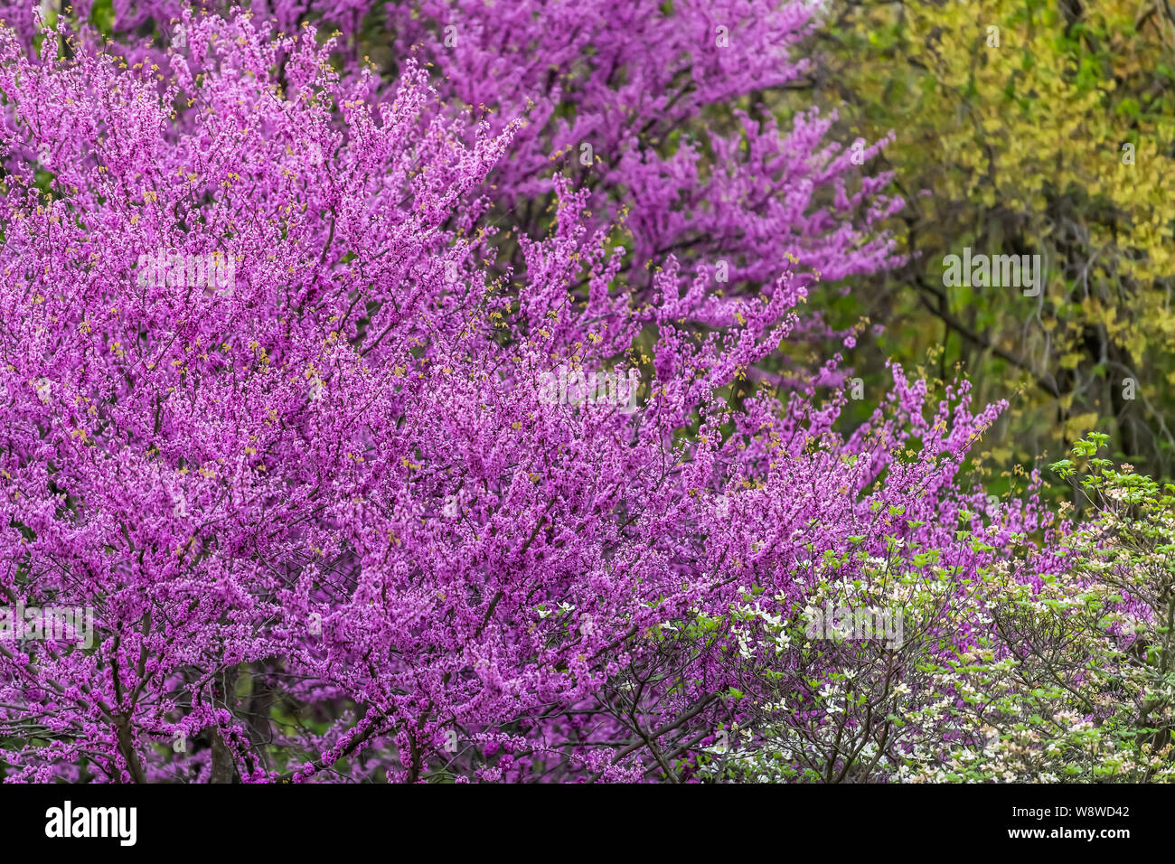 Redbud Tree Branches With Many Purple Flowers Blossom Blooming In