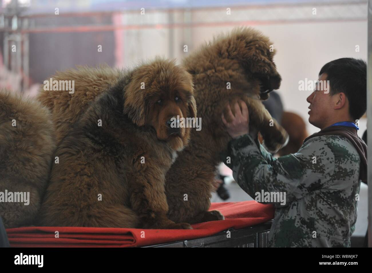 FILE--A visitor plays with a Tibetan mastiff during an