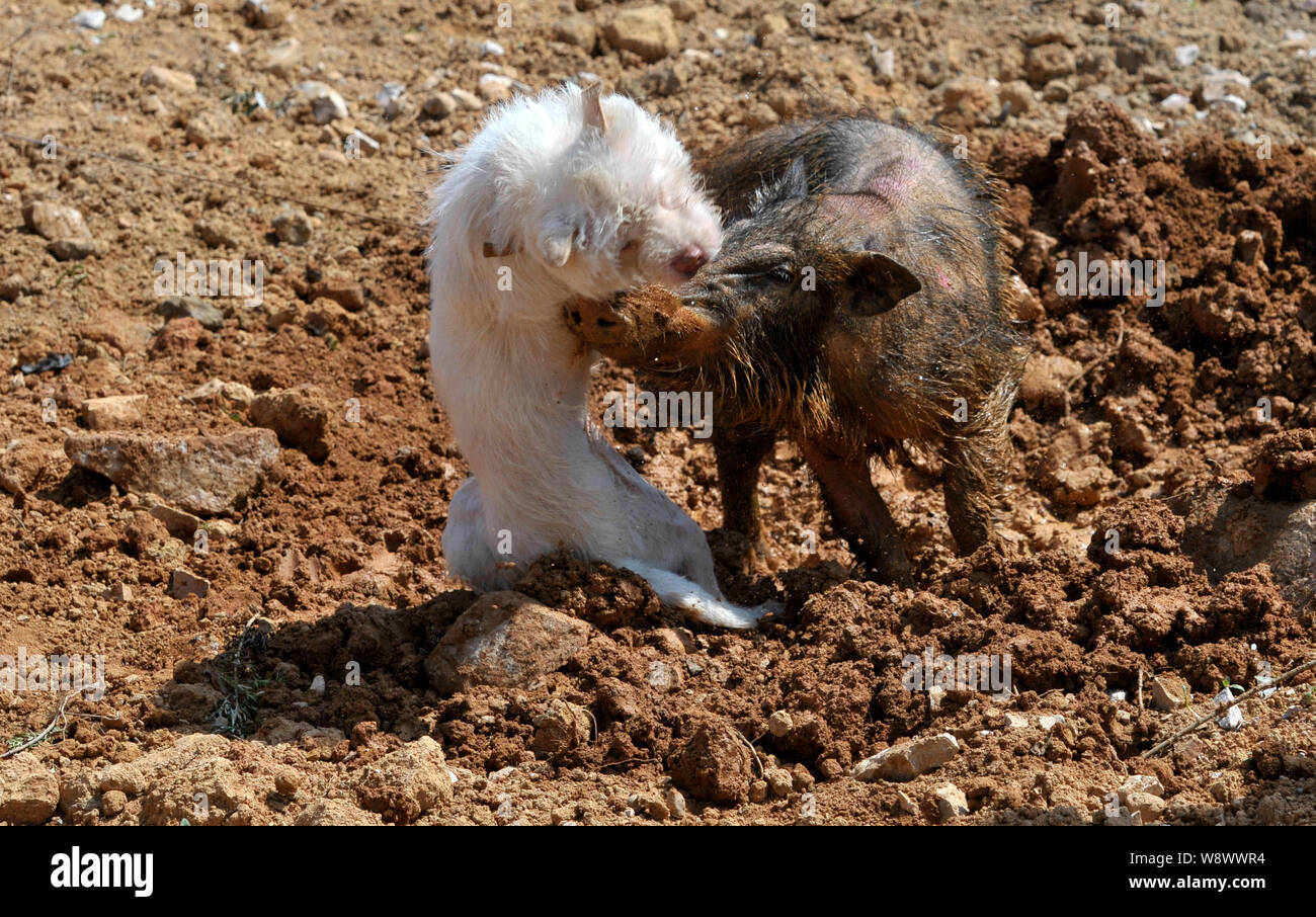 A Xiasi dog, left, fights a wild boar during a dog vs boar