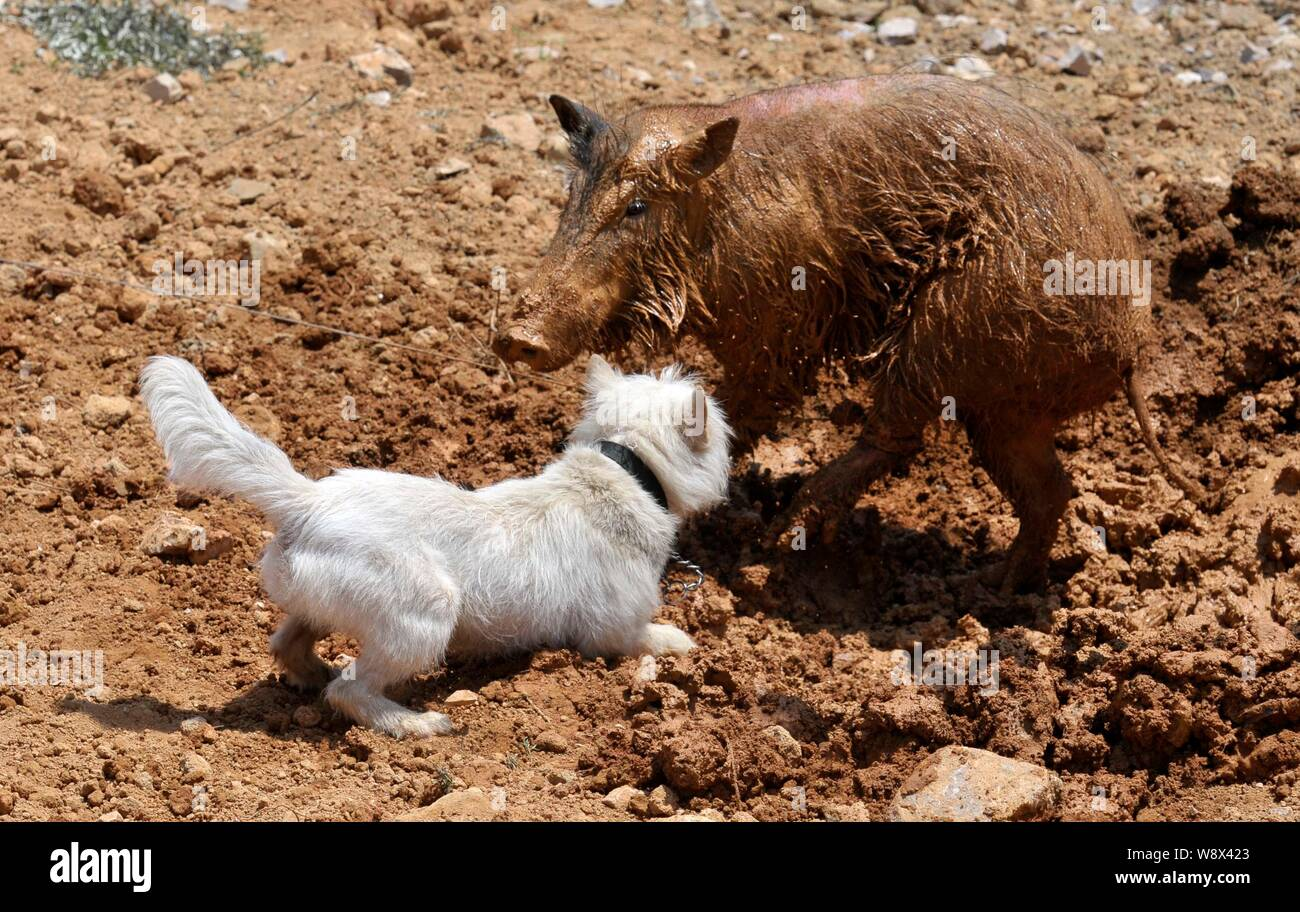 A Xiasi dog, front, fights a wild boar during a dog vs boar