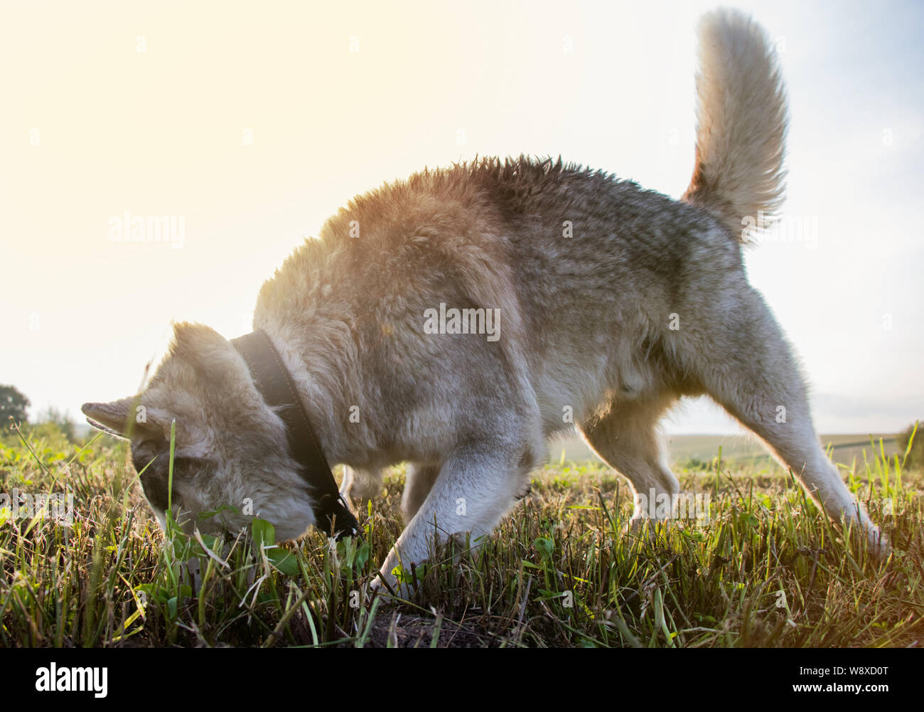 Dog husky digs in search of mice Stock Photo