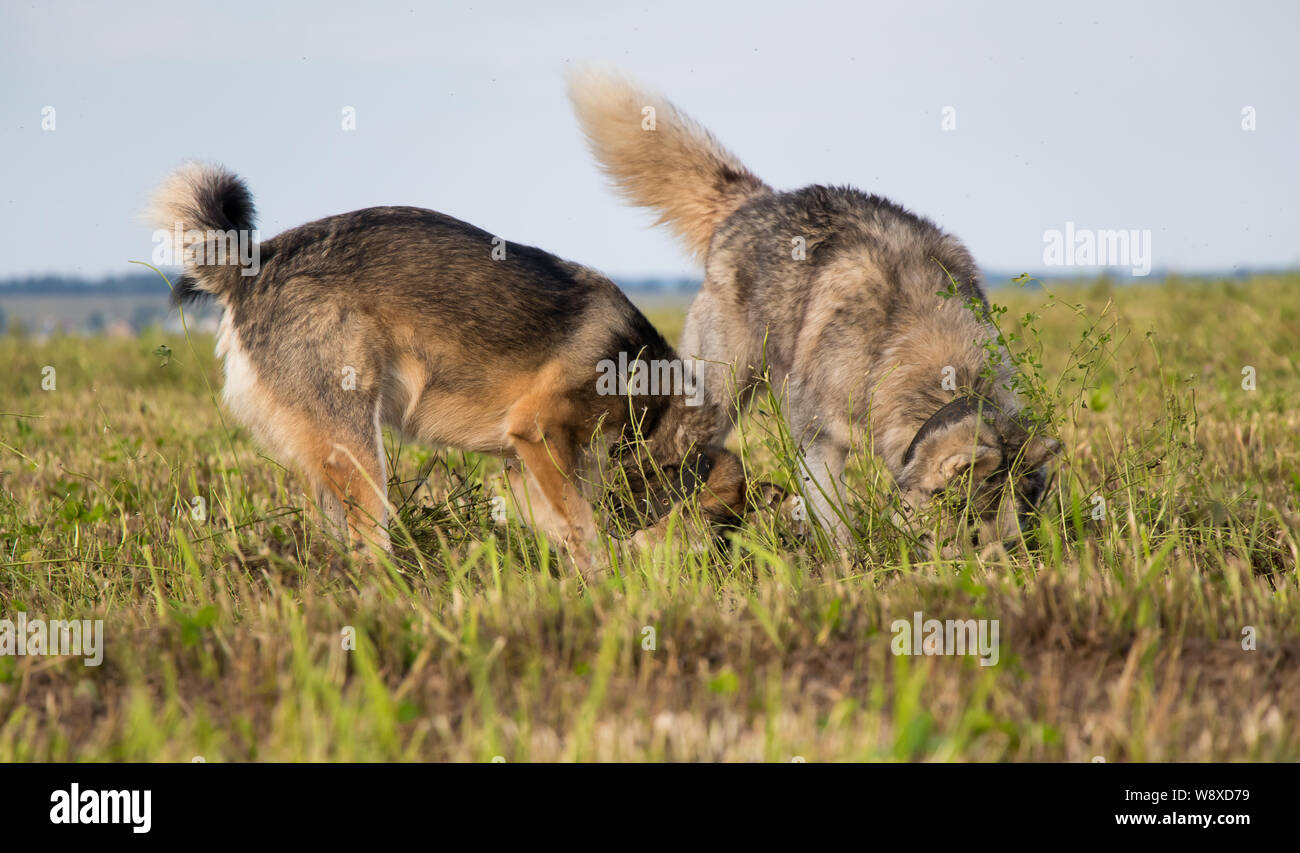 Two dogs dig in a field looking for mice Stock Photo