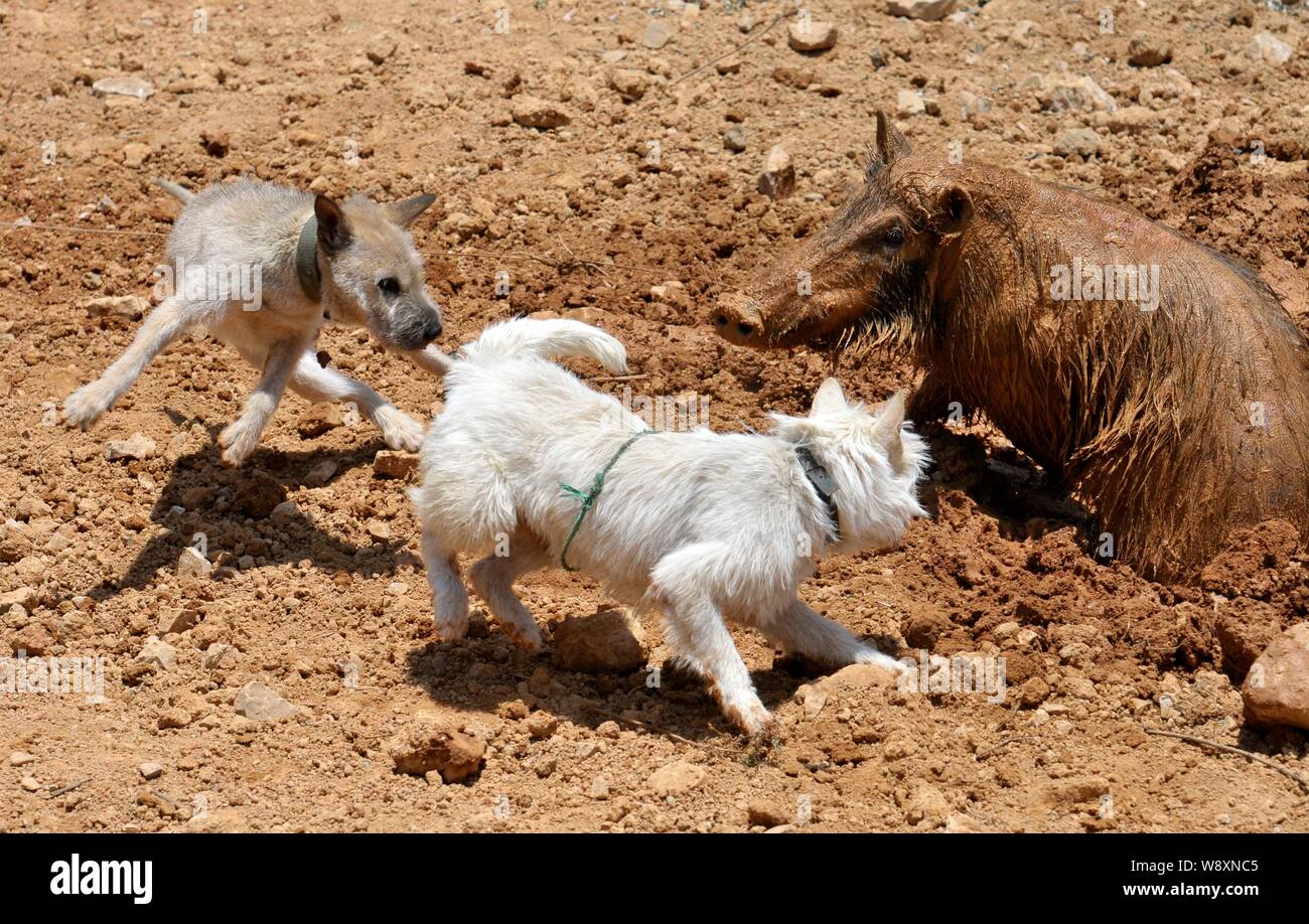 Two Xiasi dogs, left and center, fight a wild boar during a
