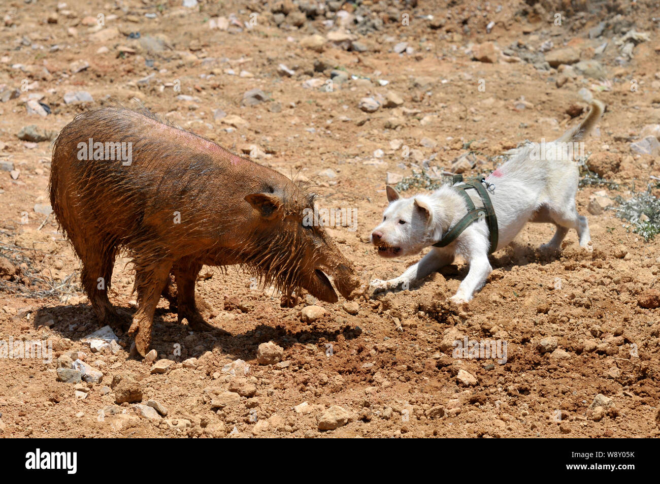 A Xiasi dog, right, fights a wild boar during a dog vs boar