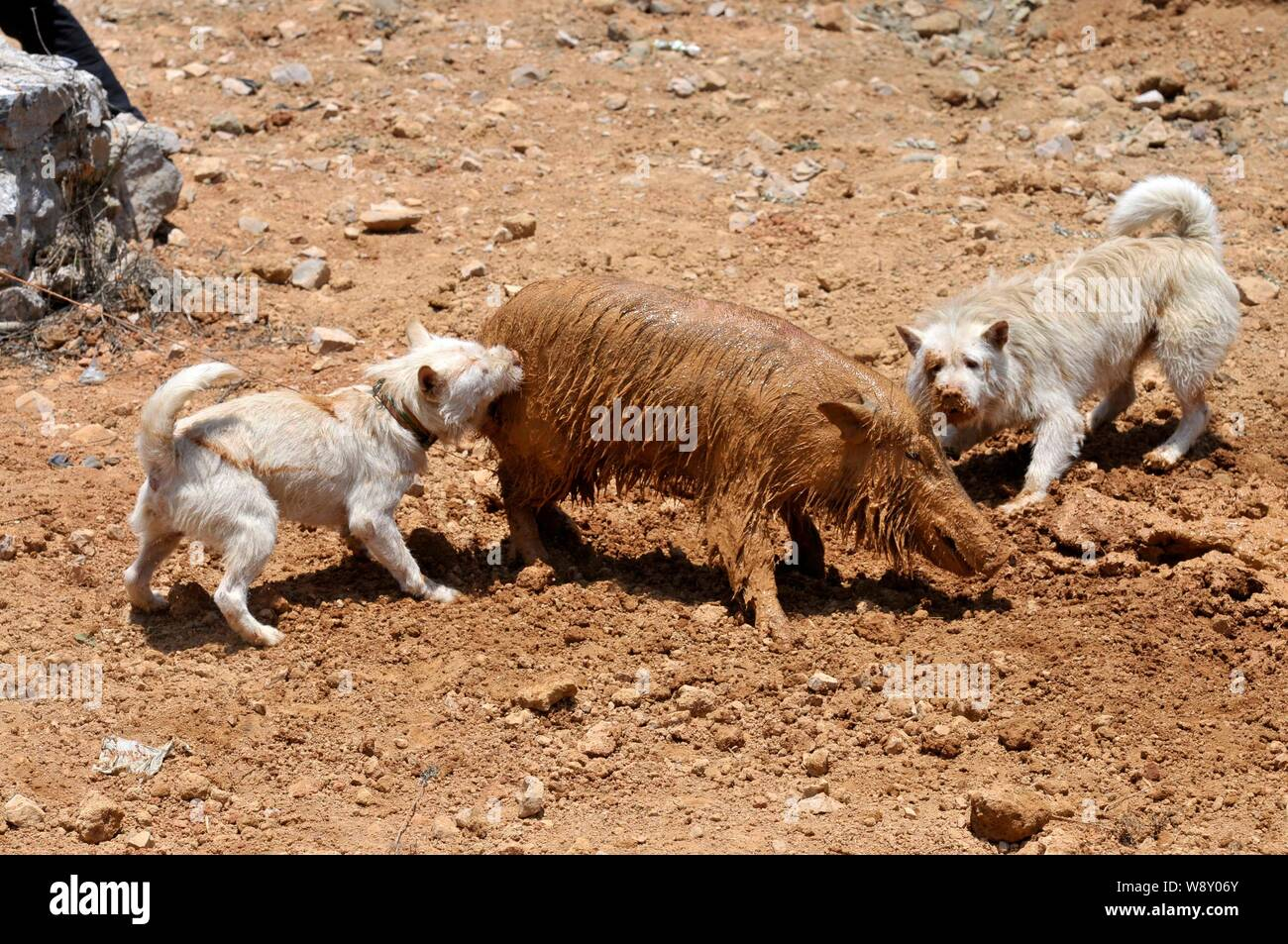 Two Xiasi dogs, left and right, fight a wild boar during a