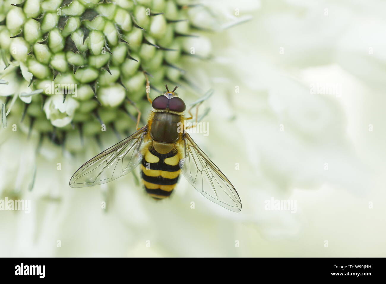 Hoverfly -  on Giant Scabious flower Syrphus species Essex, UK IN001090 Stock Photo