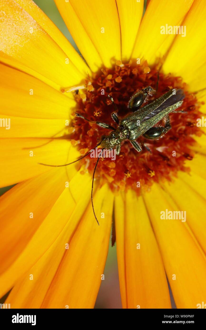 Thick-legged Flower Beetle - on Garden Marigold Flower Oedemera nobilis Essex, UK IN001106 Stock Photo