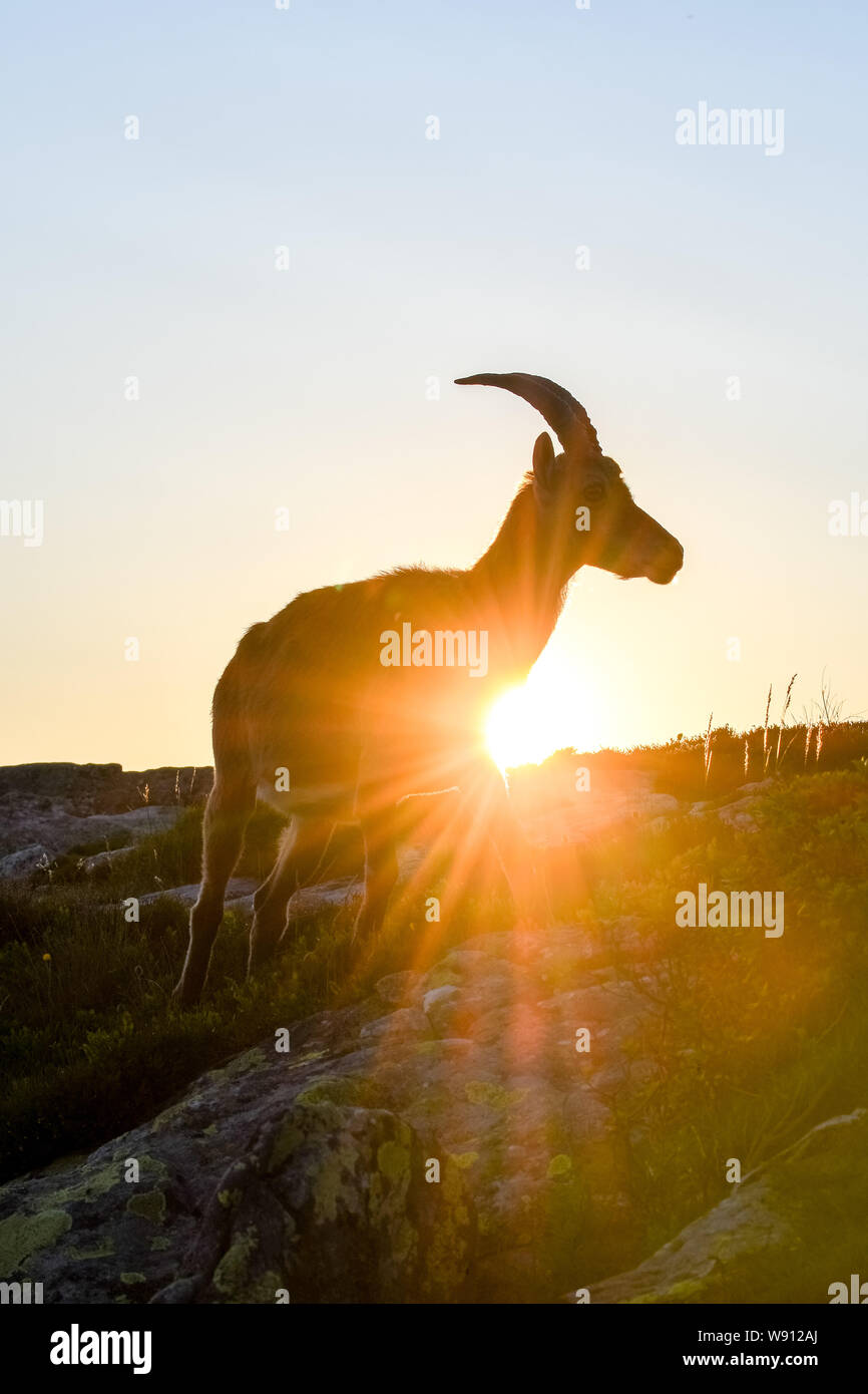 backlit silhouette of an Alpine ibex in the swiss alps Stock Photo