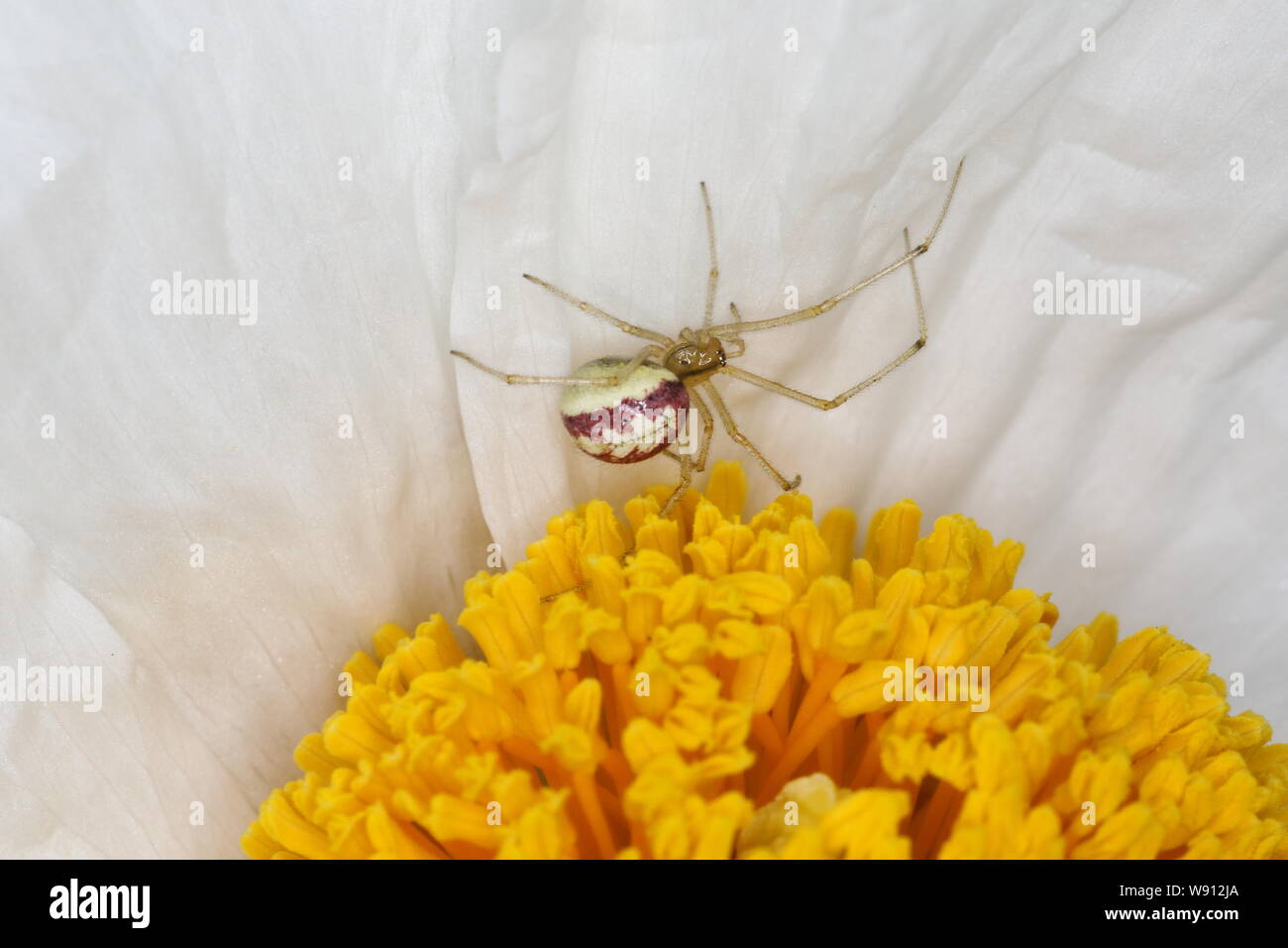 Candy-striped Spider - on Romneya Flower Enoplognatha ovata Essex, UK IN001144 Stock Photo