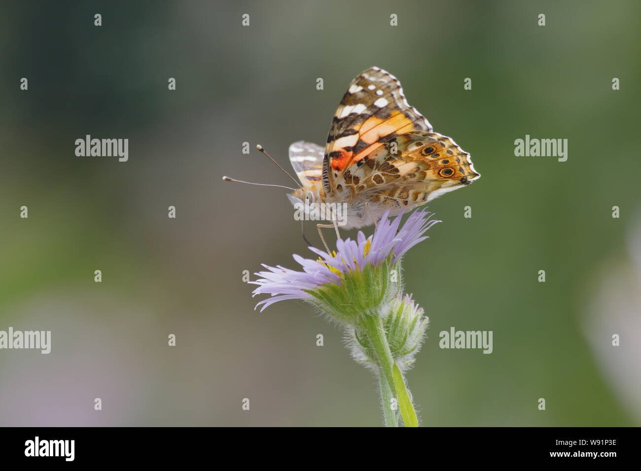 Painted Lady Butterfly - feeding on Erigeron Daisy Venessa cardui Essex,UK IN001258 Stock Photo