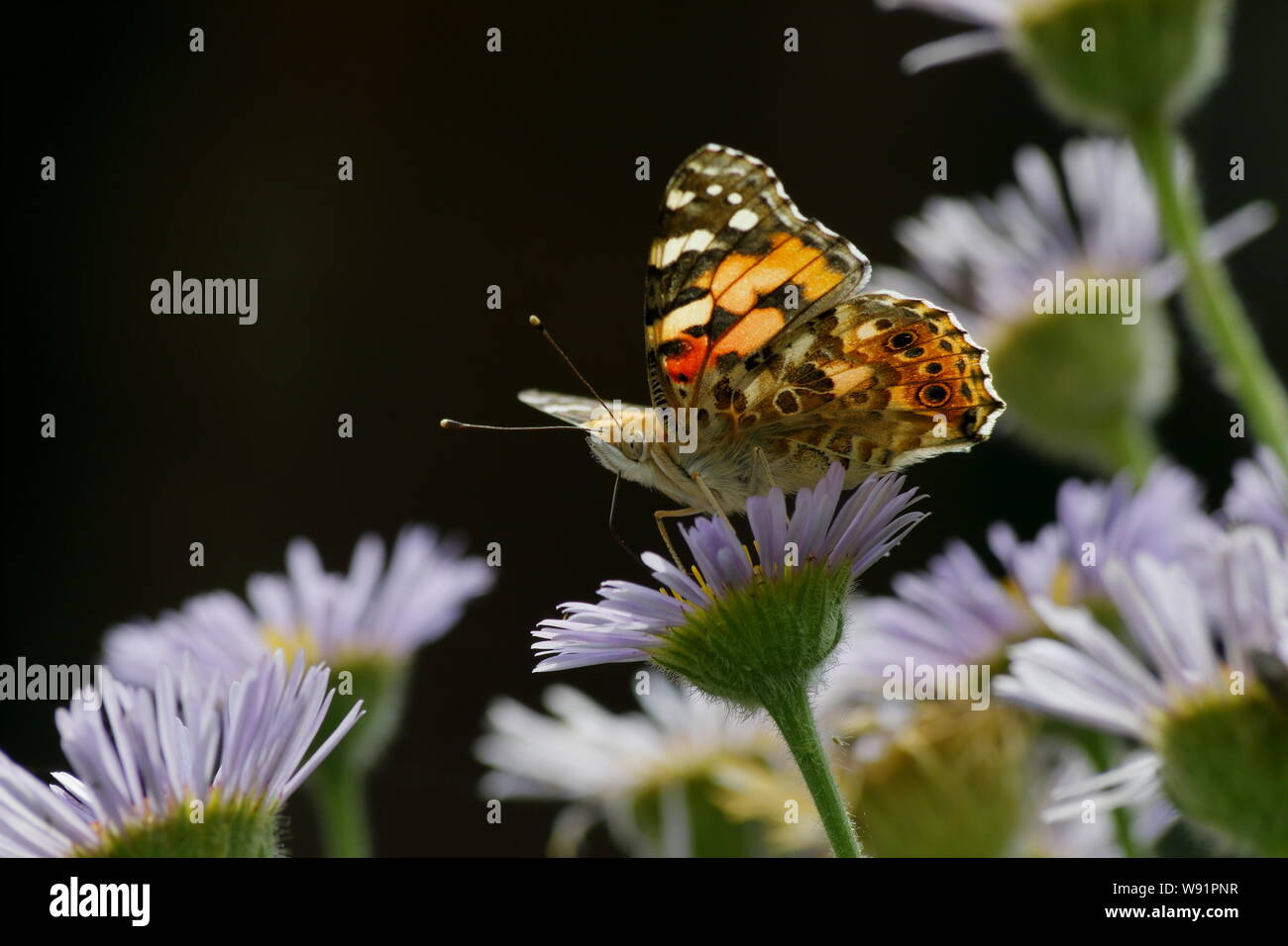 Painted Lady Butterfly - feeding on Erigeron Daisy Venessa cardui Essex,UK IN001261 Stock Photo