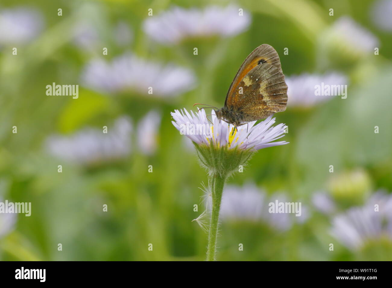 Gatekeeper Butterfly - feeding on Erigeron Daisy Pyronia tithonus Essex,UK IN001269 Stock Photo