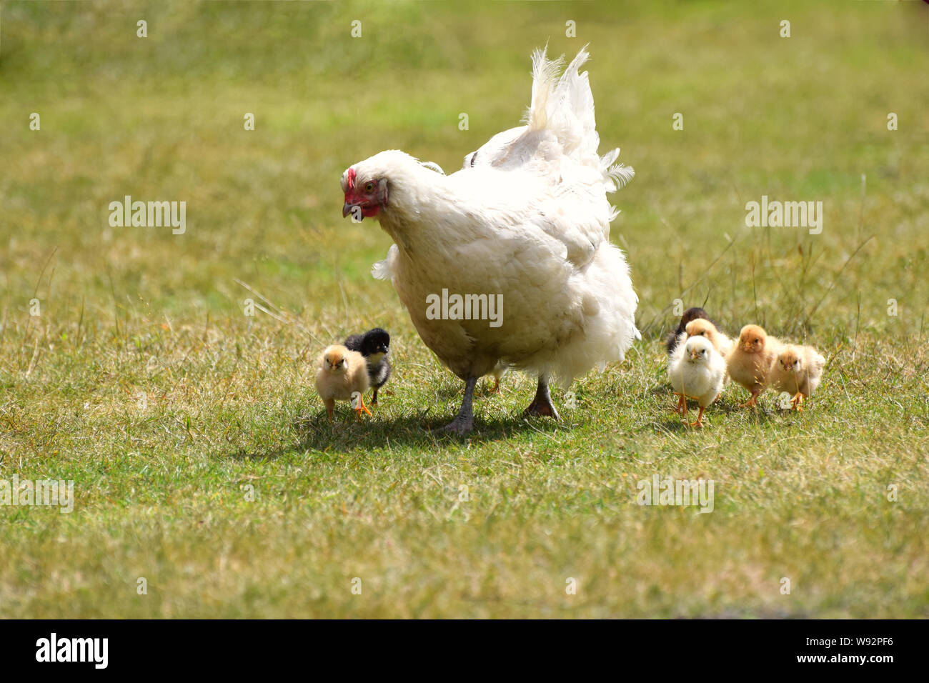 White mother hen with cute new born chicks Stock Photo