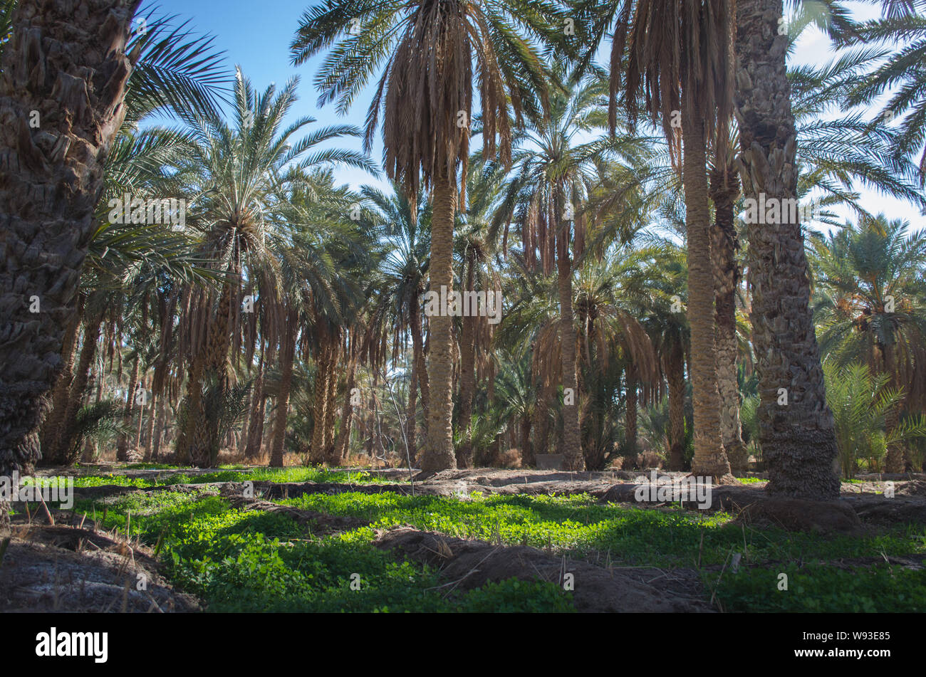 Palm plantation in Nefta oasis, Tunisia. The date palm trees growing in Sahara Desert in oasis Stock Photo