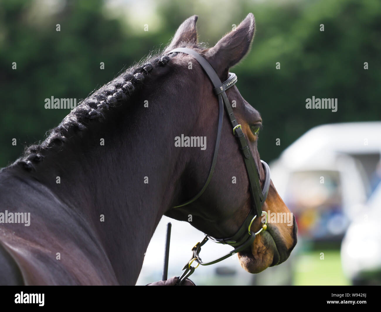 A bay plainted horse in hand looking away from the camera. Stock Photo