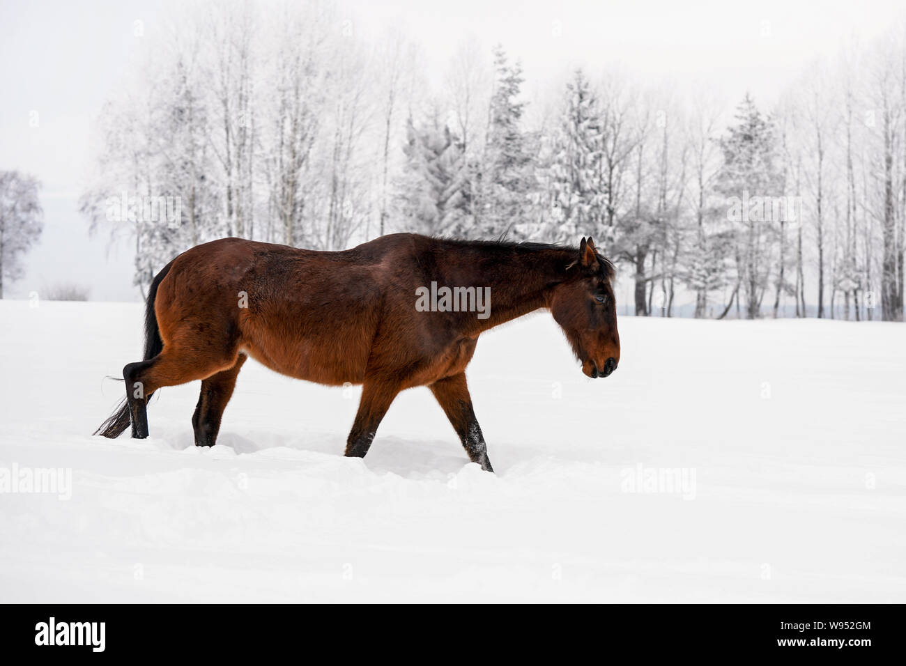 Dark brown horse walks on snow covered field in winter, blurred trees in background, view from side back Stock Photo