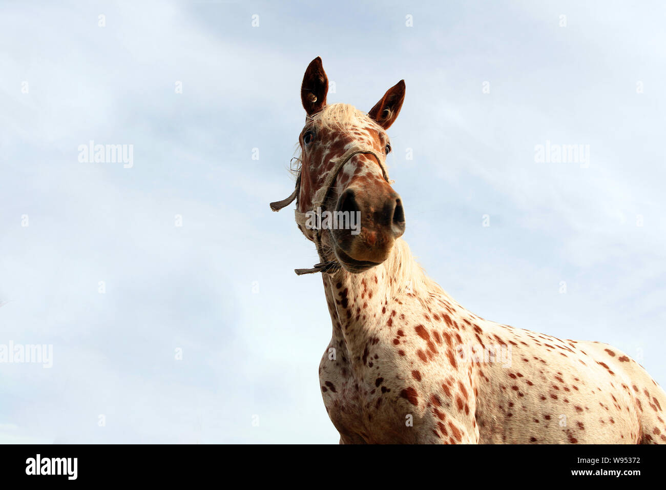 Leopard Coat Pattern Horse Standing With Long Mane Funny Horse Face Infront Of Blue Sky Cute Animals Concept Stock Photo Alamy