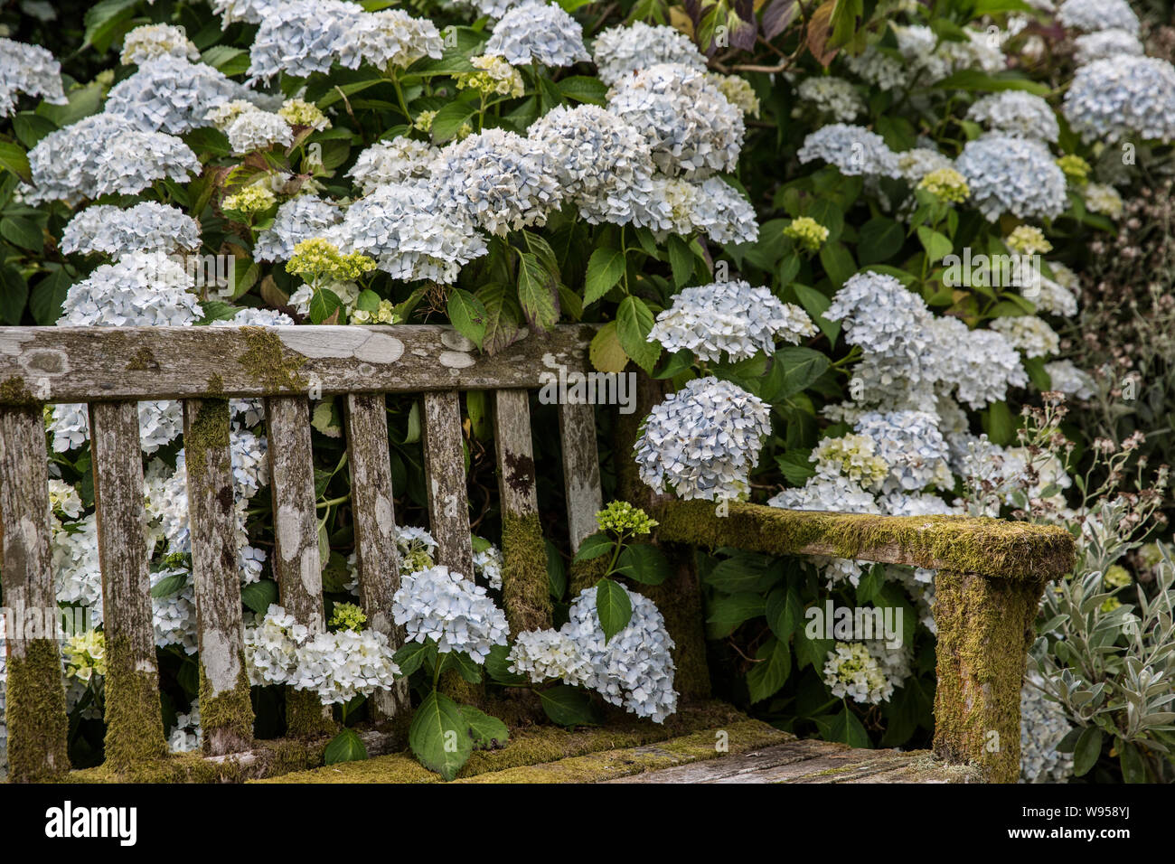 Hydrangeas and bench Stock Photo