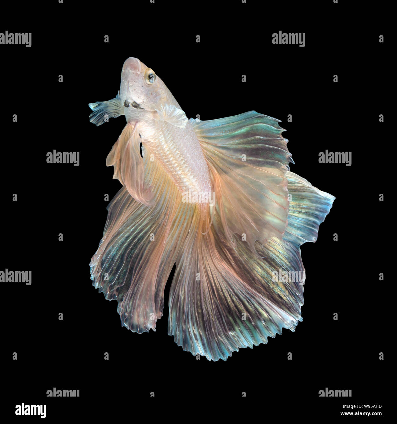 Close up art movement of Betta fish or Siamese fighting fish isolated on black background Stock Photo