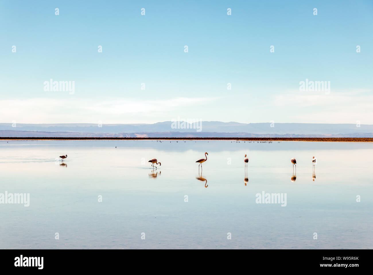 Flamingos at Chaxa Lagoon, Atakama Salar, Chile : Unusual  Andean landscape of salt formations and salt lake with volcanoes seen in the distance Stock Photo
