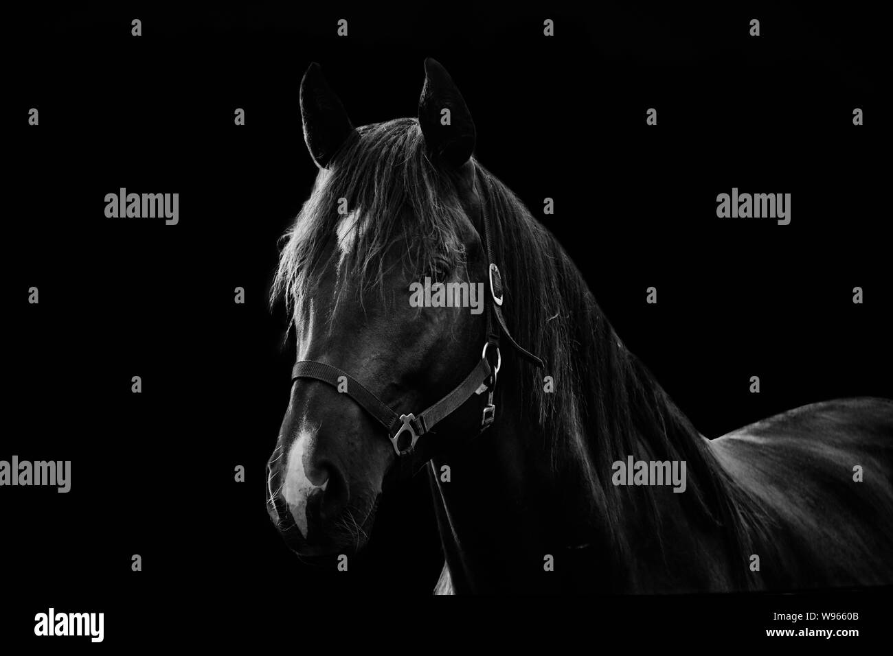 White Horse On Black Background High Resolution Stock Photography And Images Alamy