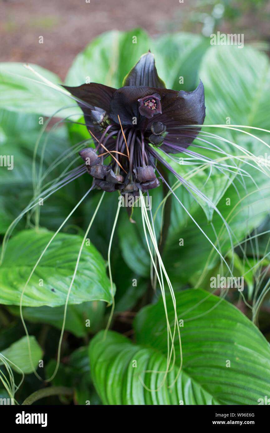 Bat Plant Tacca Chantrieri High Resolution Stock Photography And Images Alamy