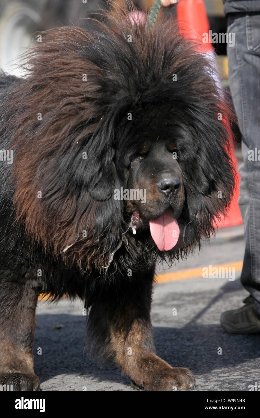 Tibetan Mastiff Stock Photos & Tibetan Mastiff Stock Images