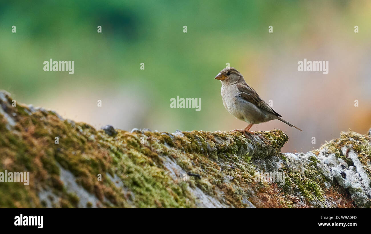 Female House Sparrow Perched on a Stone Wall at Beiramar Stock Photo