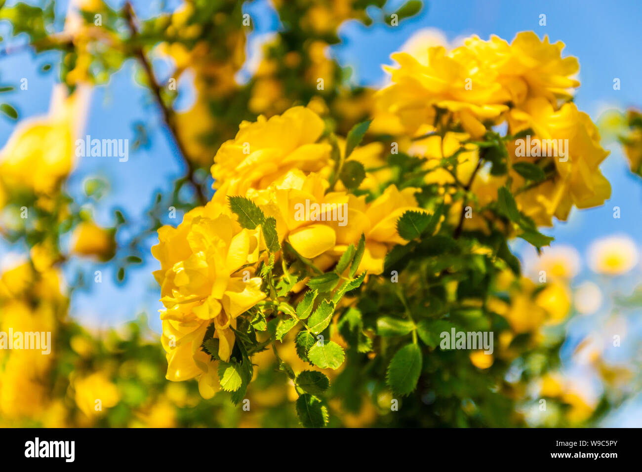 Beautiful Bush Of Yellow Roses In A Spring Garden Delightful