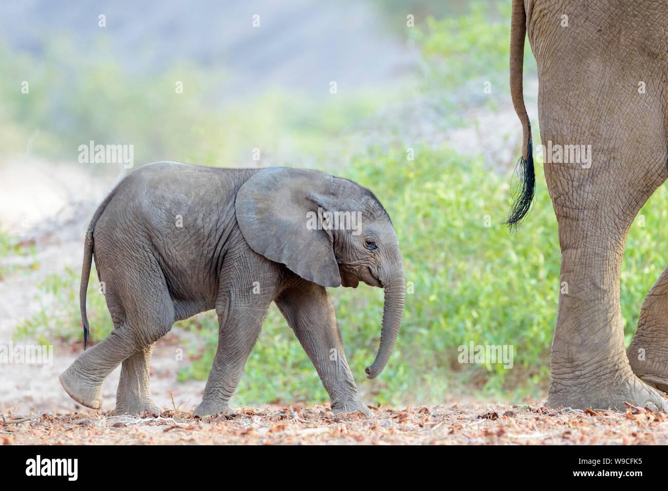 African Elephant (Loxodonta africana), desert-adapted elephant calf, walking behind mother in dry riverbed, Hoanib desert, Kaokoland, Namibia. Stock Photo