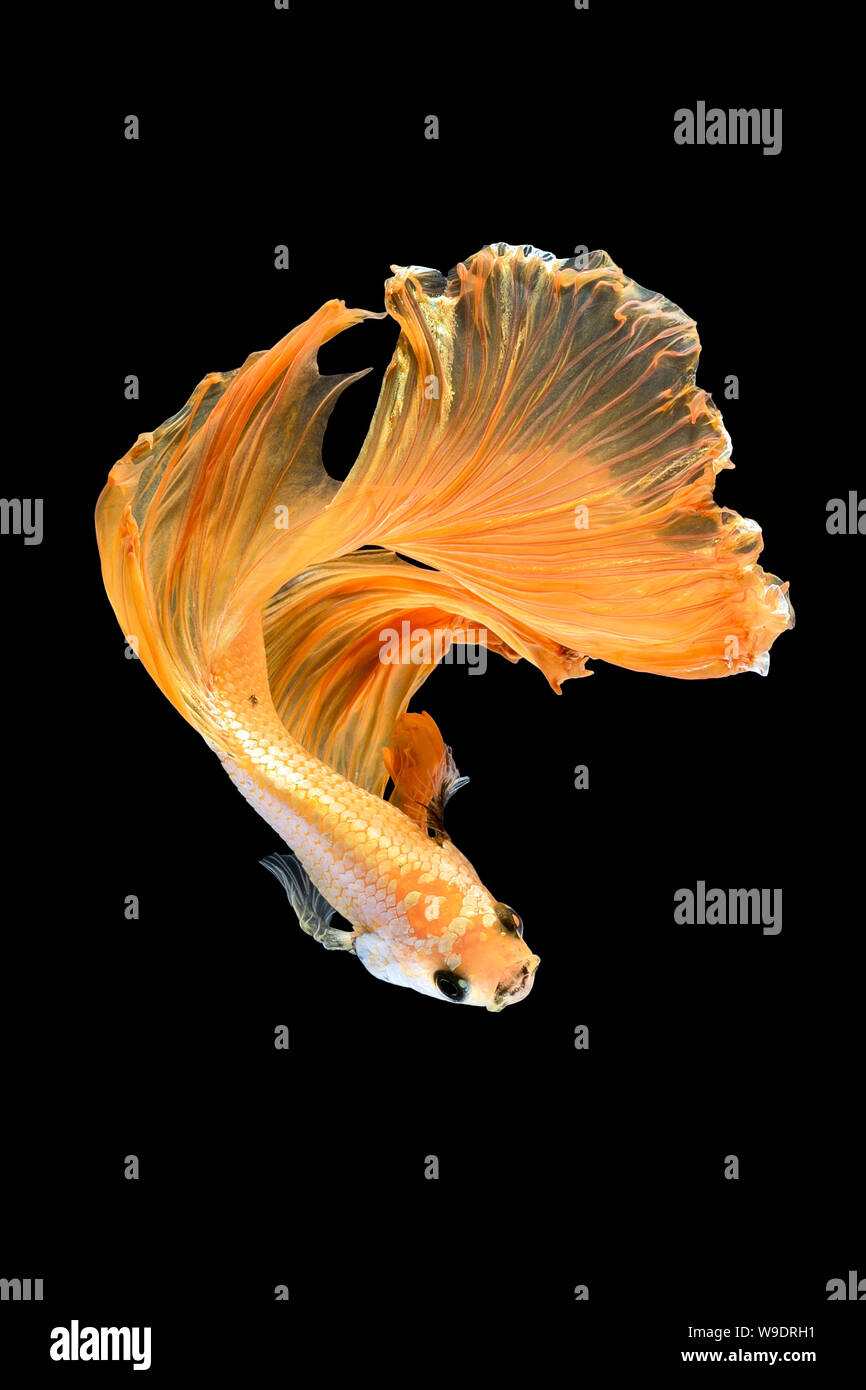 Close up art movement of Betta fish,Siamese fighting fish isolated on black background.Fine art design concept. Stock Photo