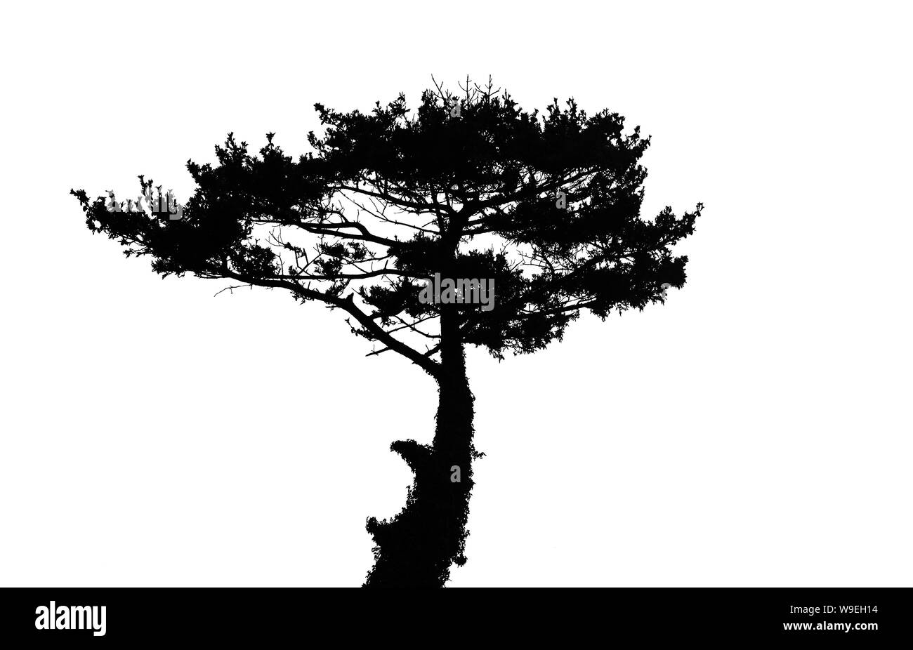 Black Pine Tree Silhouette Isolated On White Background Tree Silhouette Stock Photo Alamy