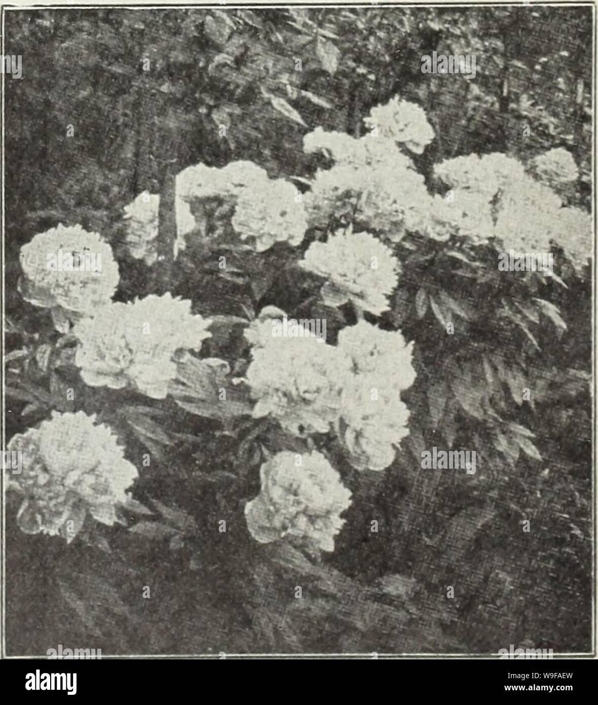 Archive image from page 26 of Currie's autumn 1929 54th year. Currie's autumn 1929 54th year bulbs and plants  curriesautumn19219curr Year: 1929 ( Viola (Tufted Pansy) PEONIES The most popular of all hardy herbaceous plants, admired by everybody, and so easily grown that no one with even the most Hmited garden space should be without one or rnore. They are perfectly hardy, thriving in almost any soil either in the open or light shade. Well enriched loam, however, suits them best, carefully avoiding an over abundance of fresh manure close to the roots. Beware of too deep planting. Make the hole Stock Photo