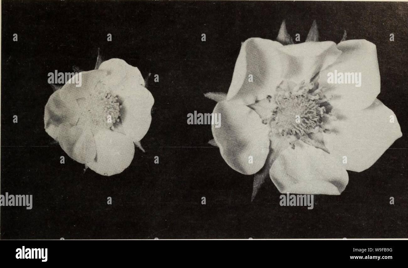 Archive image from page 28 of Culture du fraisier dans l'est. Culture du fraisier dans l'est du Canada  culturedufraisie00crai Year: 1977 ( Figure 1 2 La fleur de gauche n'a pas d'Ãtamines de sorte qu'elle ne peut pas produire de pollen. Celle de droite est normale, ses Ãtamines et ses pistils sont bien dÃveloppÃs. RECOLTE ET MANUTENTION CUEILLETTE Il importe d'avoir des cueilleurs à sa disposition et de les embaucher avant la pÃriode de la cueillette. Il faut de quinze à vingt-cinq cueilleurs par hectare (6 à 10/ac) selon leur expÃrience, l'importance de la rÃcolte et le rythme auquel les fru Stock Photo