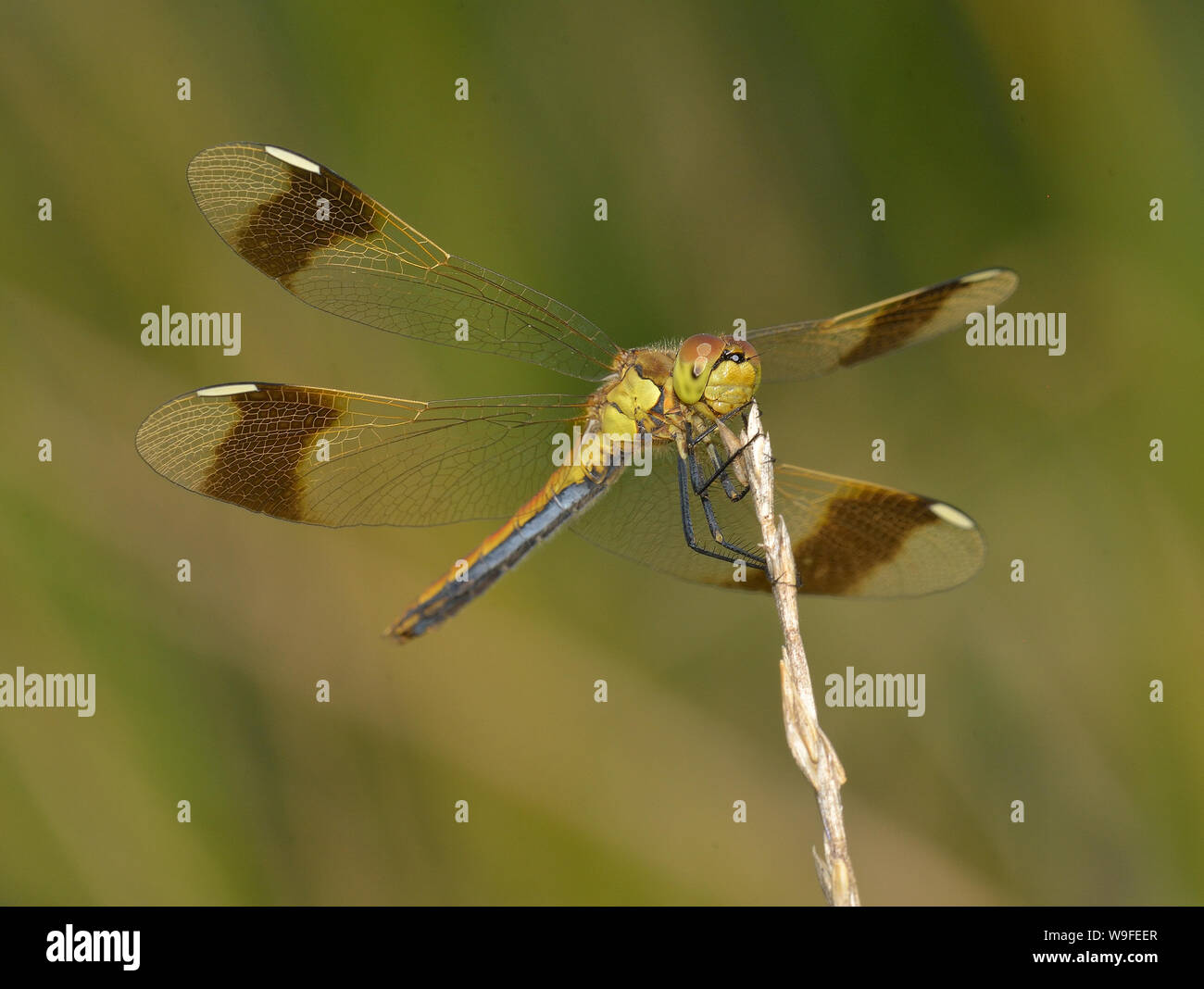Banded Darter Stock Photo