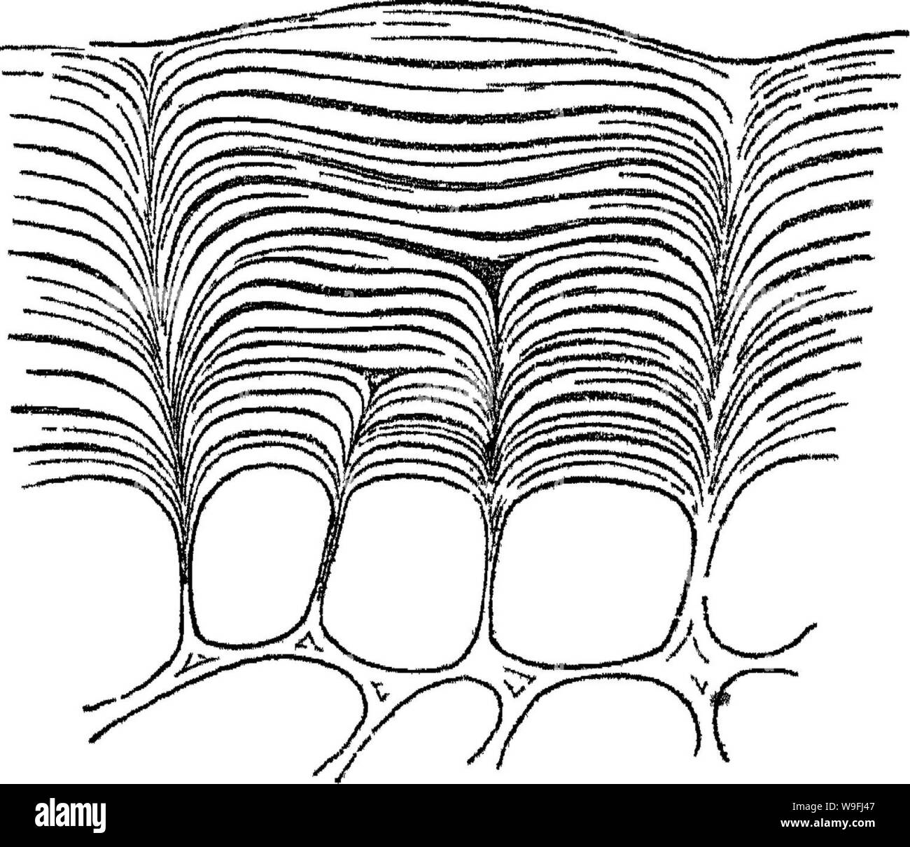 Archive image from page 45 of Principles of the anatomy and Stock Photo