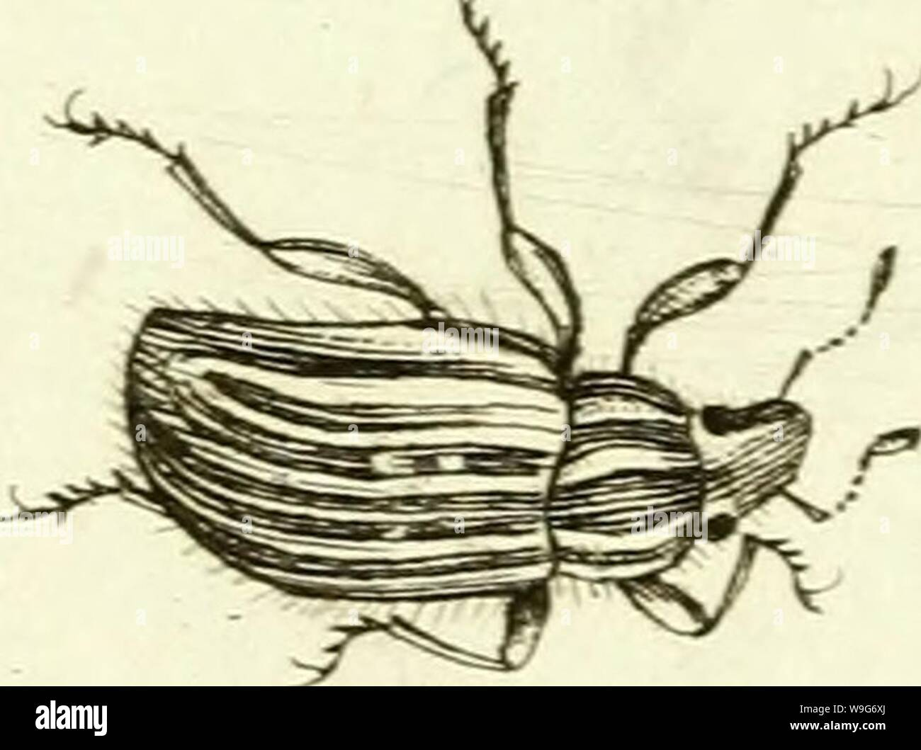Archive image from page 126 of [Curculionidae] (1800) Stock Photo