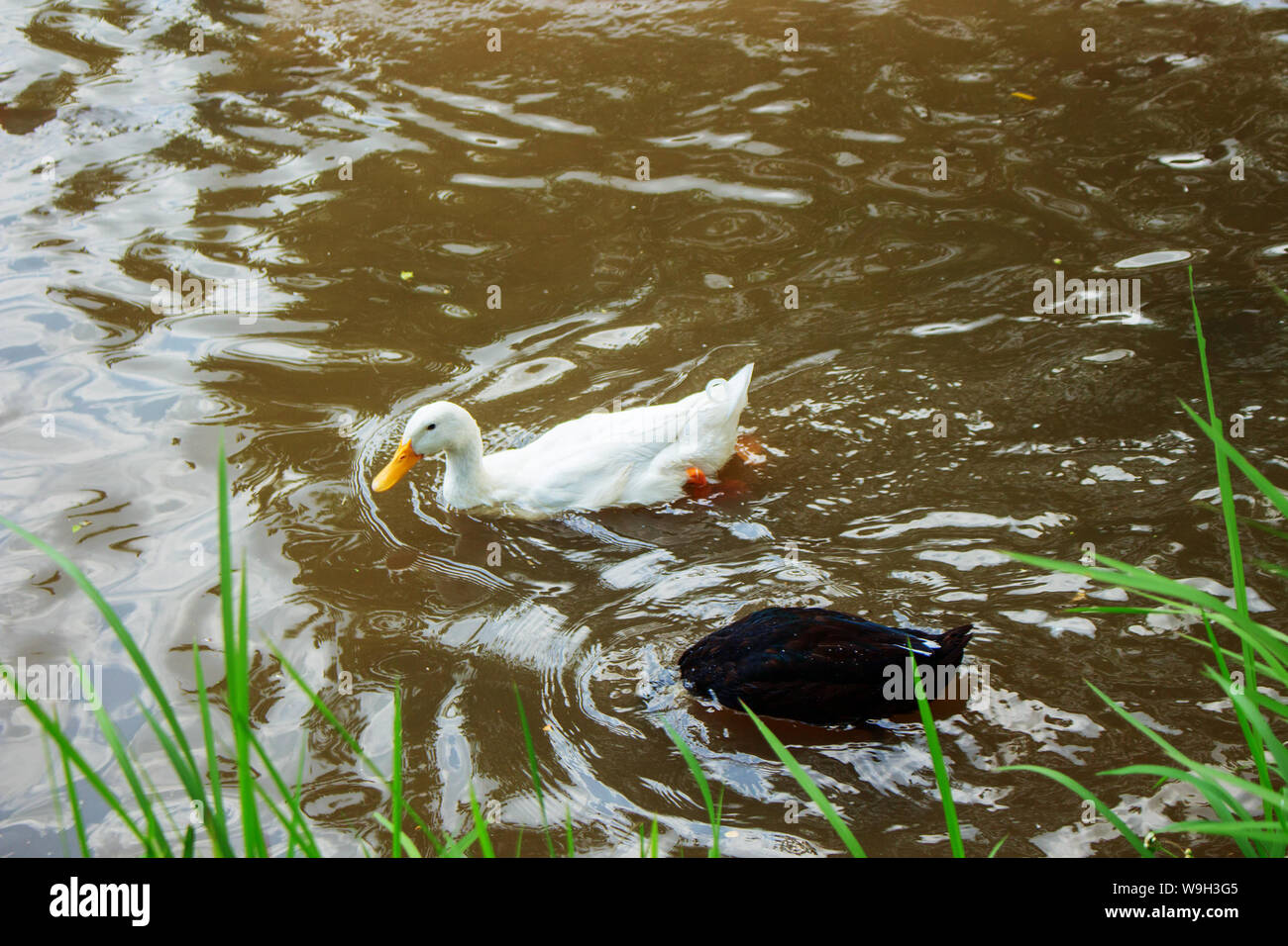 the white duck swim and the black duck head dive in murky river water Stock Photo