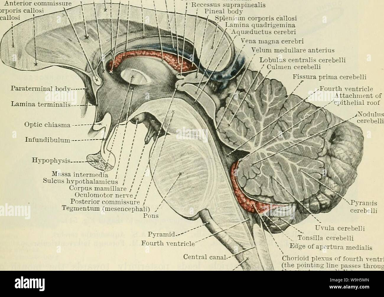 Archive image from page 650 of Cunningham's Text-book of anatomy (1914) Stock Photo