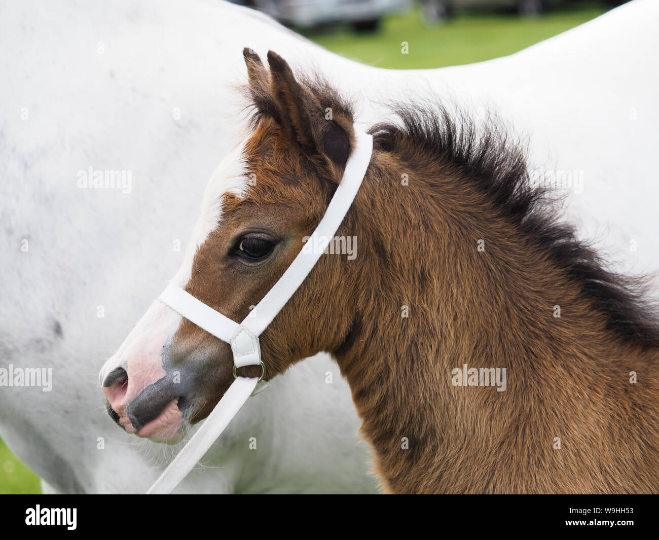 A bay welsh section A foal in a traditional white showing halter. Stock Photo