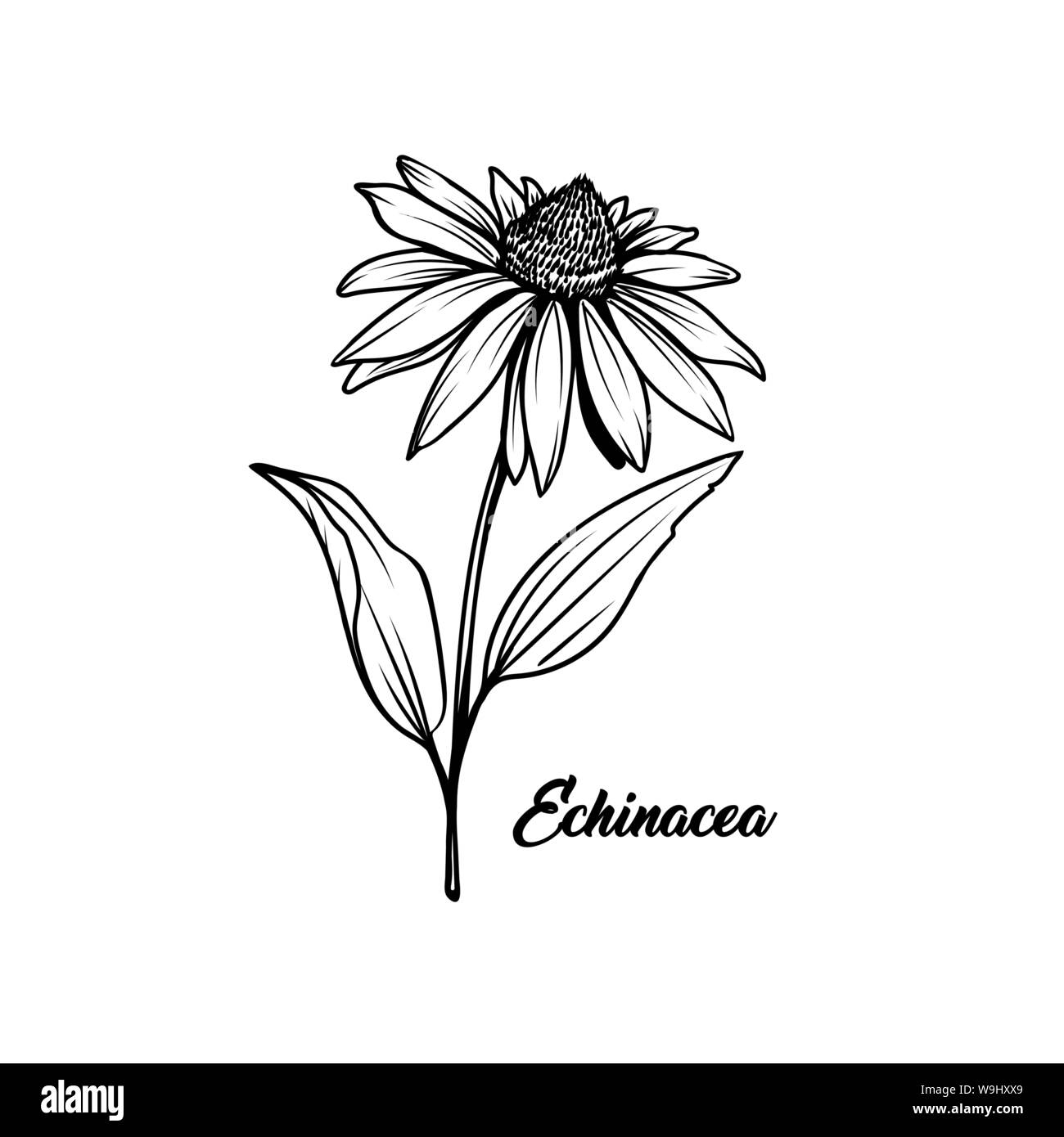 Echinacea Black And White Vector Illustration Beautiful Coneflower Decorative Freehand Drawing Medical Plant Herbal Tea Ingredient Botany Homeopathy Banner Design Element With Lettering Stock Vector Image Art Alamy