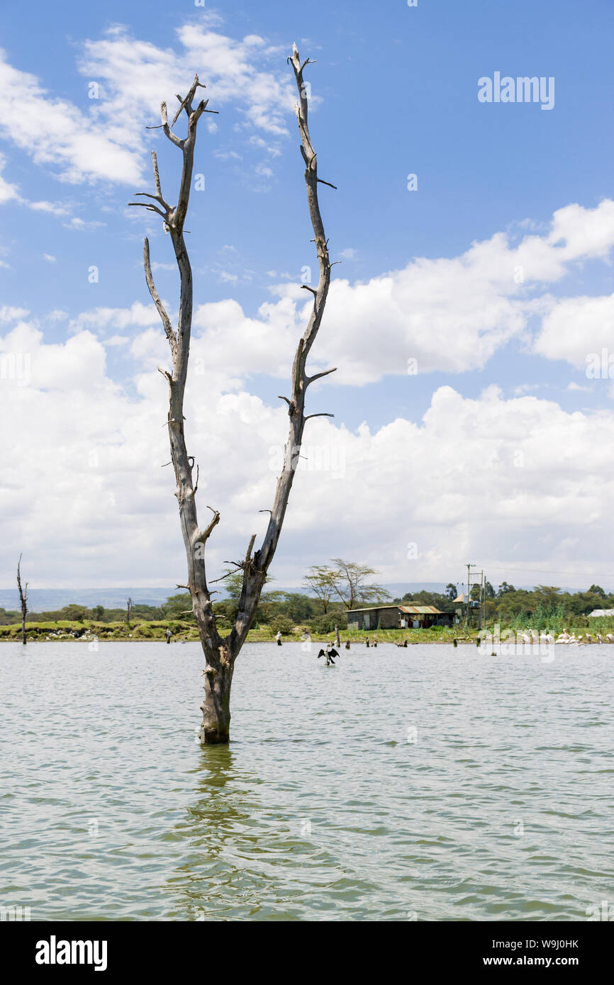 Partially submerged dead tree due to rising water levels, lake Naivasha, Kenya, East Africa Stock Photo