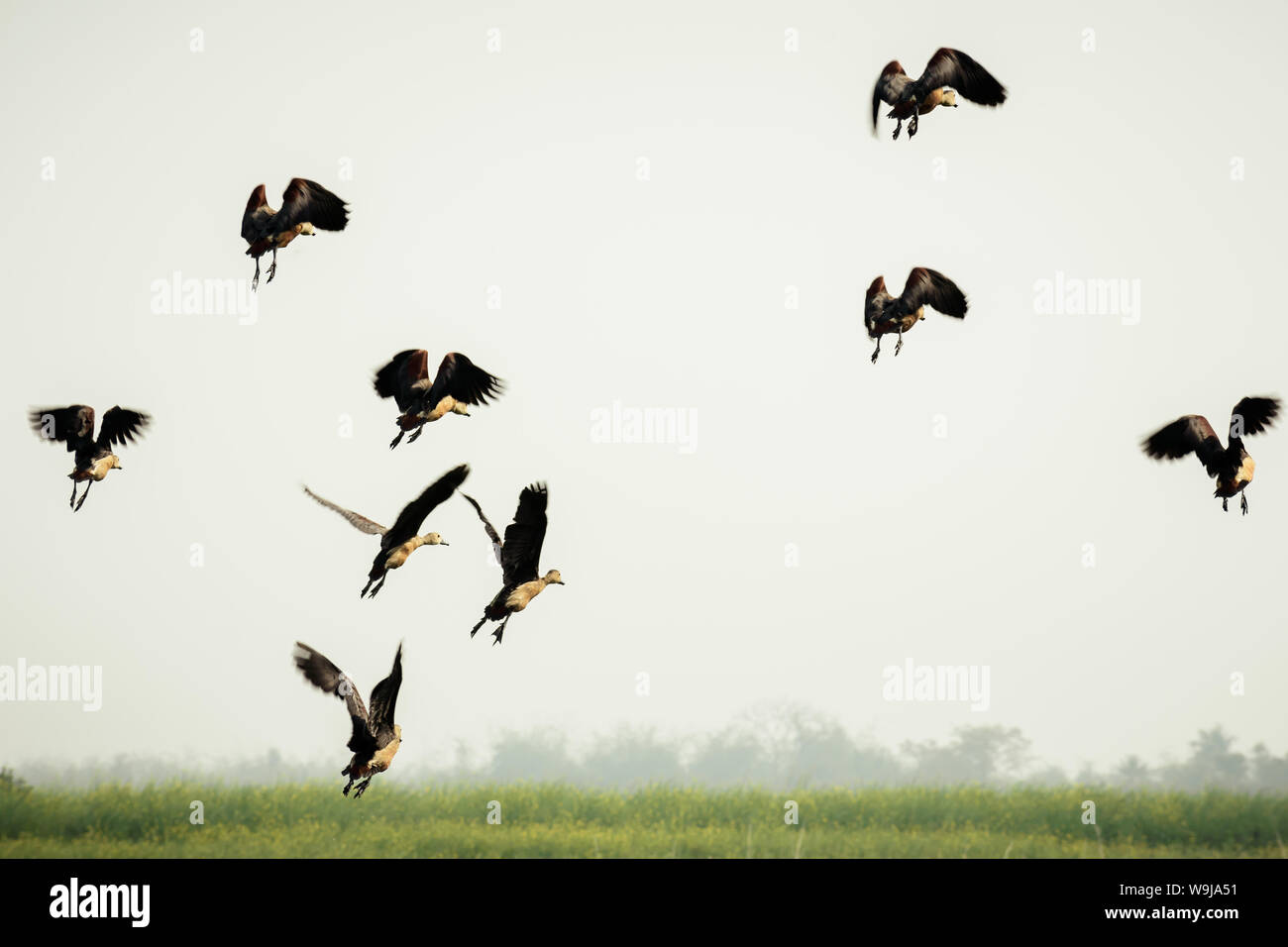 Follow the leader. A flock of Indian Cormorant birds in motion flying over lake. Sea Birds Flying in Nature. Bird migration. Freedom concept. Vedantan Stock Photo